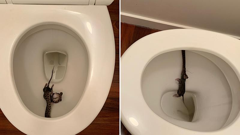 A woman woke up early one Saturday morning to find a snake munching on a rat in her toilet. Source: Supplied - Jana Engler.
