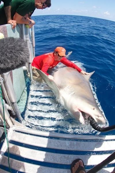 Dr. Neil Hammerschlag pulling up a 1,000-pound bull shark, the largest he's ever caught. He gave the shark an ID tag and took samples from it so that scientists can learn more about it.