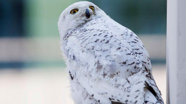 AP snowy owl tk 140130 16x9 608 Rare Snowy Owl Struck By Bus in Washington, D.C.