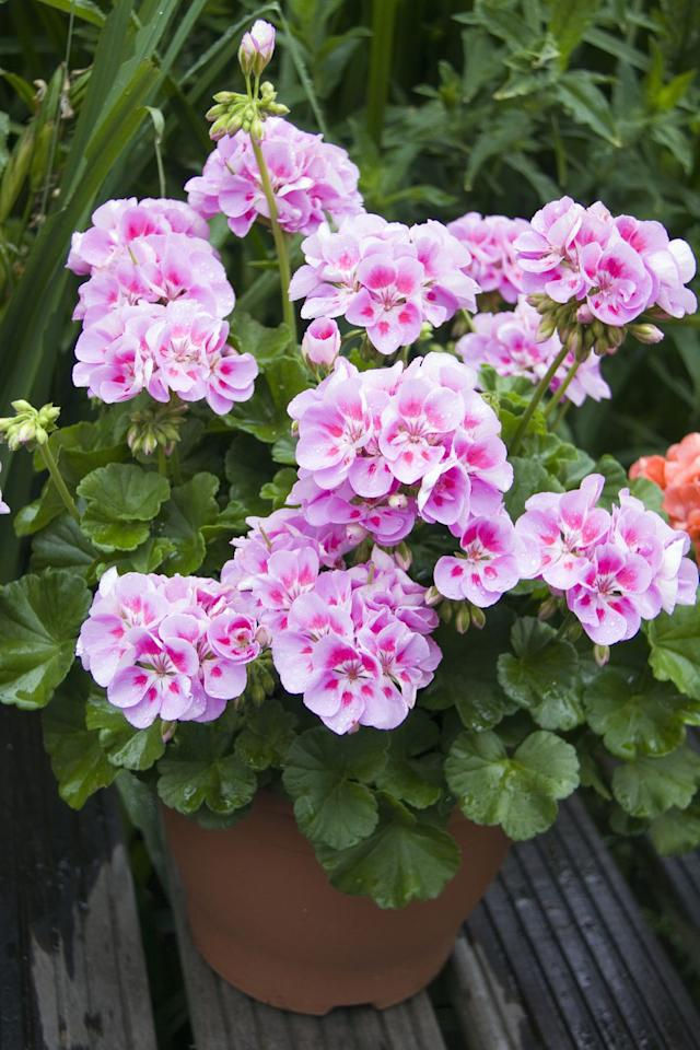 """<p>Geraniums are the ultimate summer sizzler – drought-tolerant, brilliantly colourful and so easy to care for. The scented varieties are particularly good in the hot sunshine which is especially good news if you have planted them in pots or hanging baskets. There are so many varieties available too!</p><p><a rel=""""nofollow"""" href=""""https://www.amazon.co.uk/dp/B001P3UZCY"""">BUY NOW</a></p>"""