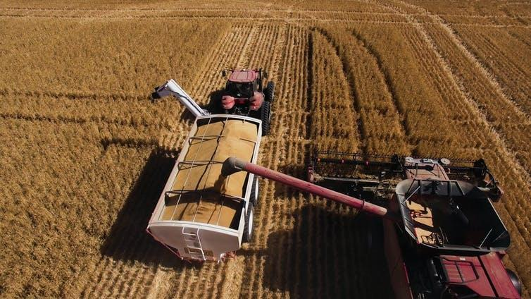 A harvester combine pours harvested wheat into a truck.