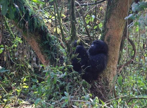 World's largest gorillas 'one step from going extinct'