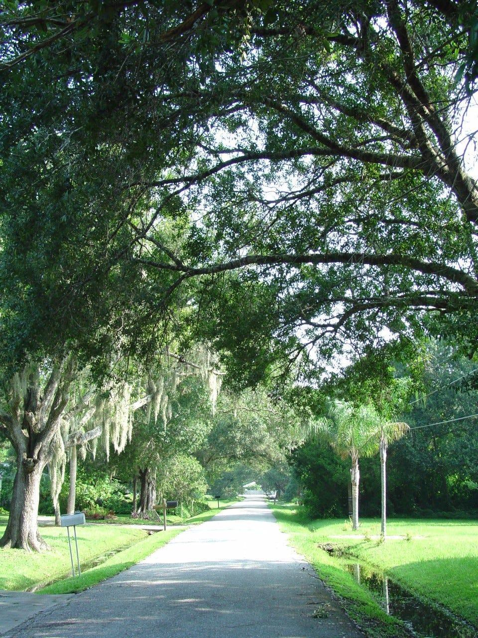Shade trees lining a road in an urban setting