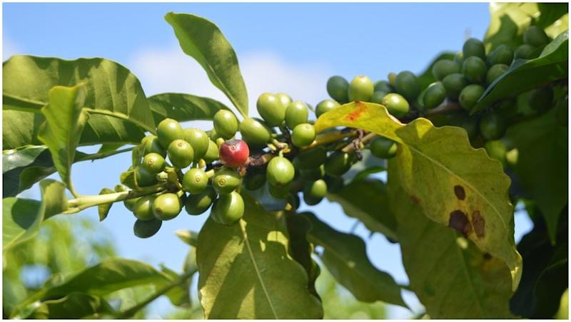 Coffee Leaf Rust Is Reducing Its Production Drastically in Latin America; the Industry Is in a Crisis Situation