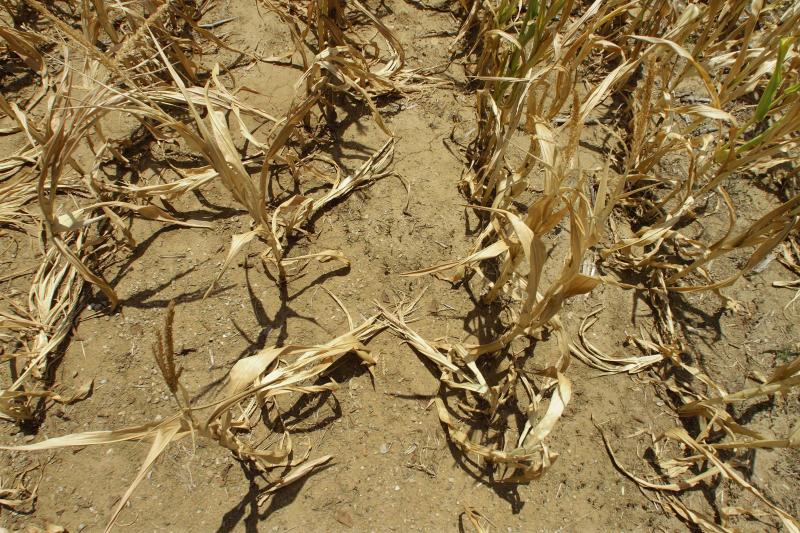 USDA: Drought cut corn crop by about one-fourth