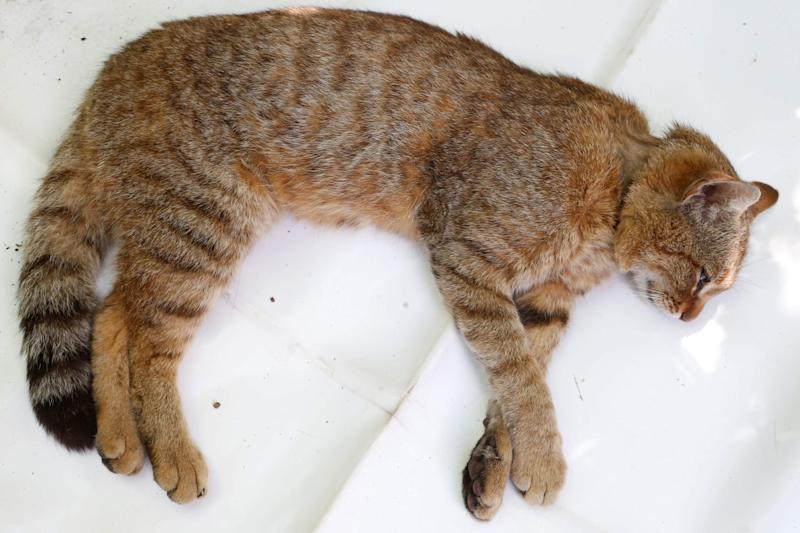 The cat-fox is larger than a domestic cat and its origins remain unknown (AFP/Getty Images)