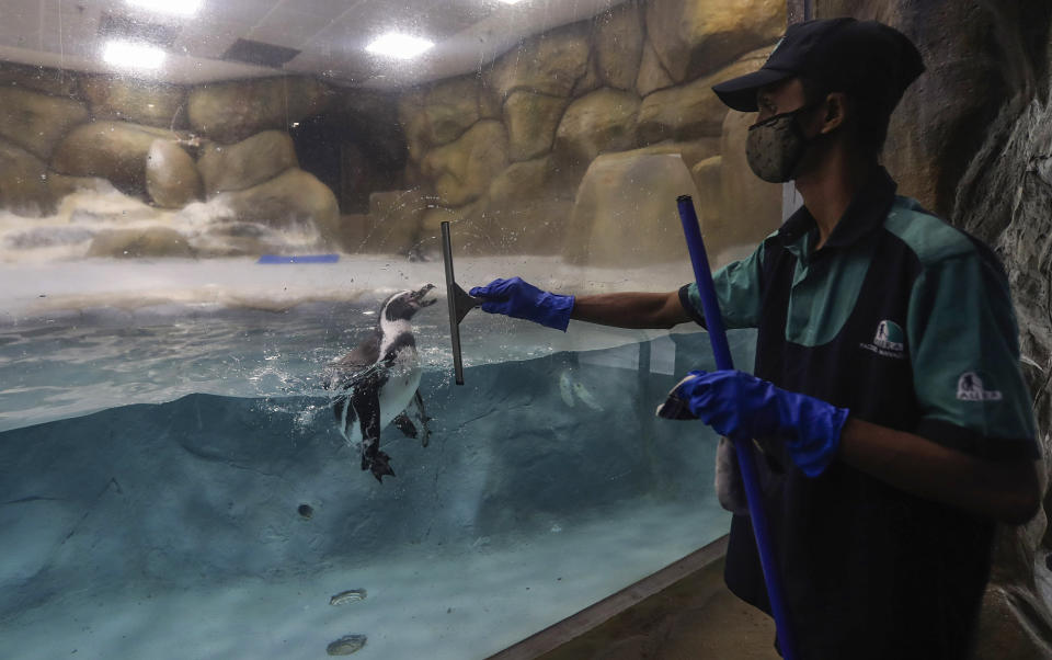 A staff member cleans glass as a Penguin is seen inside its enclosure at the Byculla Zoo in Mumbai, India, Sunday, Feb. 14, 2021. The zoo is scheduled to reopen Monday after 11 months of closure due to the coronavirus pandemic. (AP Photo/Rafiq Maqbool)