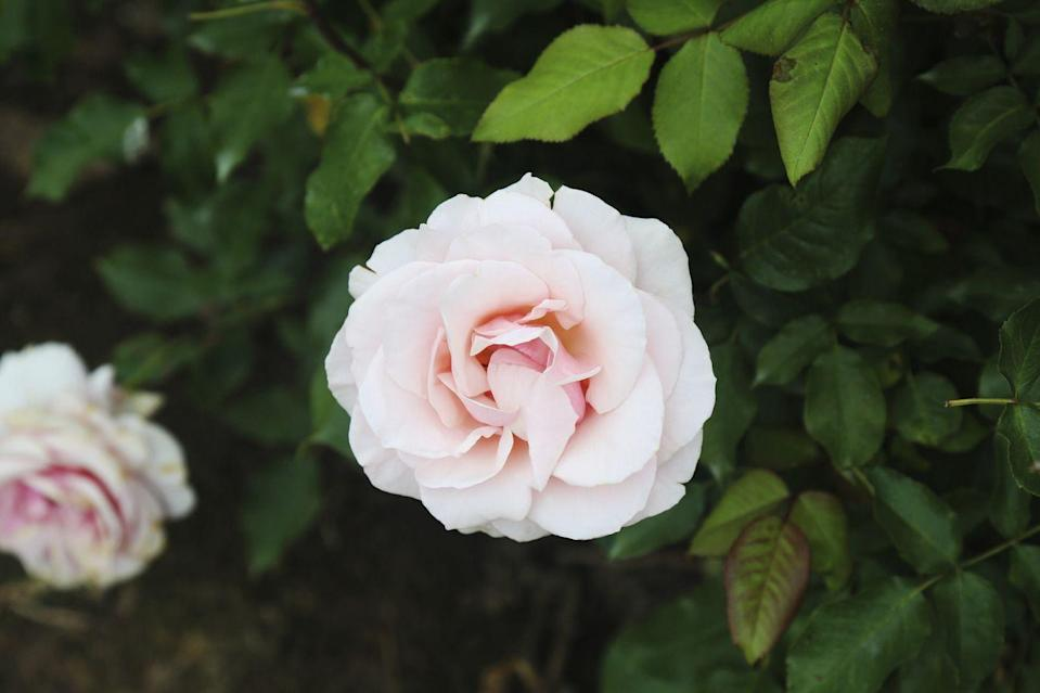 <p>Peachy-pink with a light perfume, this flower is a grandiflora rose, a type of modern hybrid known for its showy blooms. It's winter-hardy and resistant to black spot, so it's super low-maintenance. </p>