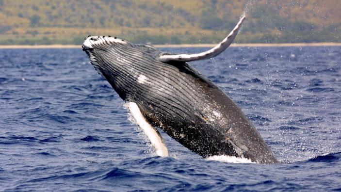 "Humpback whales can be seen in Southern California waters in summer. <span class=""copyright"">(National Oceanic and Atmospheric Administration)</span>"