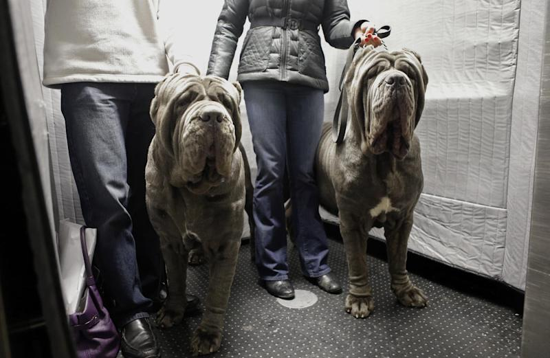 FILE - In this Feb. 10, 2013, file photo, a pair of Neopolitan Bull Mastifs named Paparazzi and Ruben ride the elevator with their owners after checking into the Hotel Pennsylvania in New York in preparation for the Westminster Dog Show.  The hotel is located directly across from Madison Square Garden, where the show is held.  (AP Photo/Kathy Willens, File