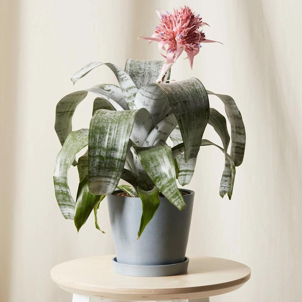"""For the millennial mom with a bout of houseplant fever, the cure is (obviously) to get her another one. <a href=""""https://fave.co/2VP9r8x"""" rel=""""nofollow noopener"""" target=""""_blank"""" data-ylk=""""slk:Bloomscape"""" class=""""link rapid-noclick-resp"""">Bloomscape</a> ships plants—fully grown and potted—nationwide; plus each plant comes with a saucer so their floor or <a href=""""https://www.glamour.com/gallery/best-home-office-desks?mbid=synd_yahoo_rss"""" rel=""""nofollow noopener"""" target=""""_blank"""" data-ylk=""""slk:desk"""" class=""""link rapid-noclick-resp"""">desk</a> won't get ruined. $65, Bromeliad Aechmea Pink. <a href=""""https://bloomscape.com/product/bromeliad-aechmea-pink/"""" rel=""""nofollow noopener"""" target=""""_blank"""" data-ylk=""""slk:Get it now!"""" class=""""link rapid-noclick-resp"""">Get it now!</a>"""