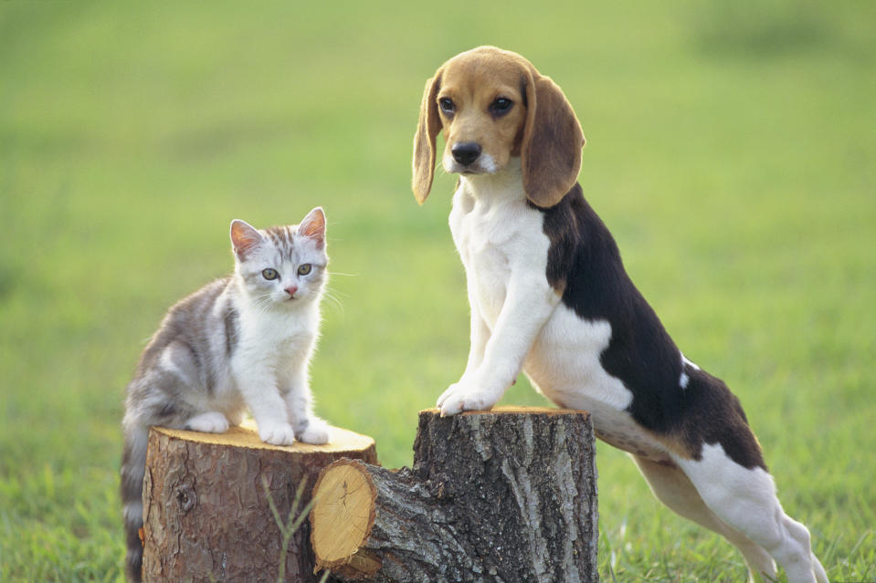 Beagle; is a medium sized dog breed and a member of the hound group, similar in appearance to a Foxhound but smaller with shorter legs, and with longer, softer ears. Beagles are scent hounds used primarily for hunting rabbits to larger hares.