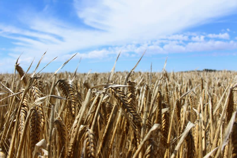 FILE PHOTO: The crop is seen in a barley field at a farm near Moree, in New South Wales, Australia