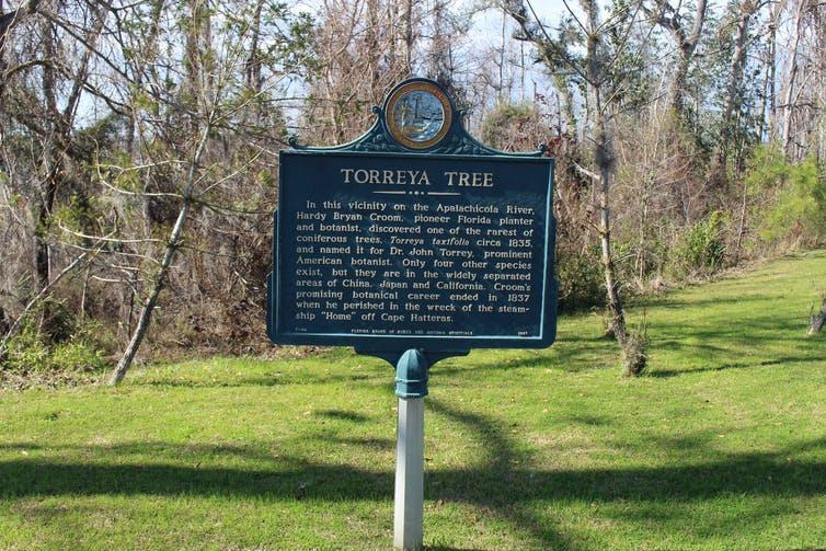 A sign describes the history of the Torreya tree