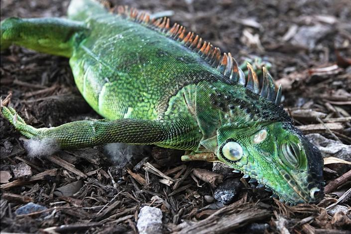 Cold weather in Florida stunned cold-blooded iguanas who dropped from their perches in trees Jan. 22.