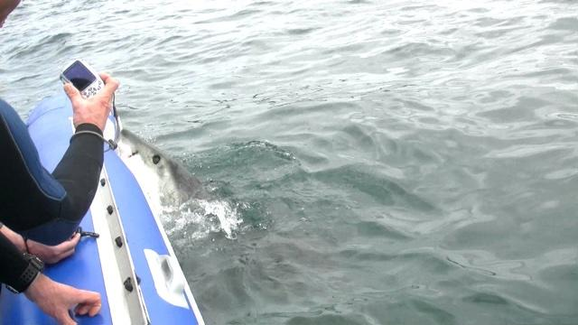Great white shark attacks inflatable boat terrifying tourists