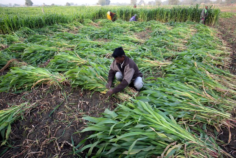 FILE PHOTO: A farm worker harvests maize crop in a field on the outskirts of Ahmedabad