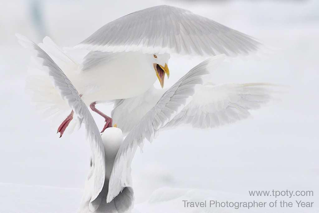 Spitsbergen, Norway Glaucous gulls fight over scraps left by a polar bear<br><br>Michal Jastrzebski, Poland<br><br>Camera: Nikon D3S		 <br><br>Winner, Best Single Image in the Wild Planet portfolio category<br><br>Each individual winner in the Best Single Image category receives a Giclee exhibition print from Genesis Digital Imaging, a print of an historic image from the Royal Geographical Society (with IBG) archive, and Adobe Photoshop Lightroom 4.