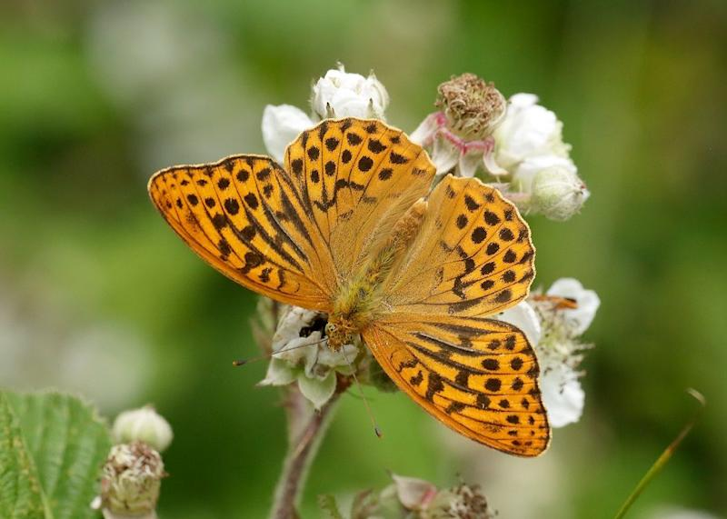 Photo credit: Iain H Leach/The Butterfly Conservation