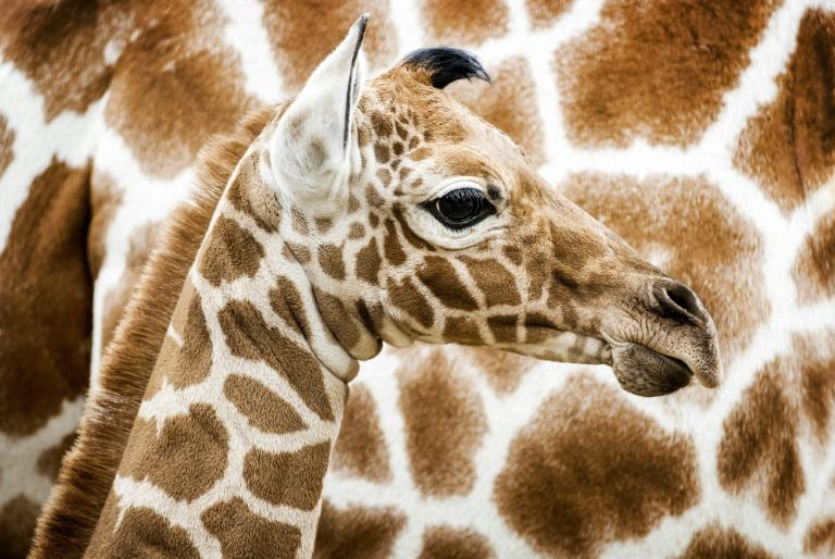 There are just 8,700 reticulated giraffe remaining in the wild