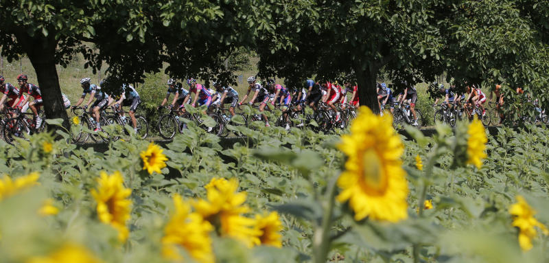 The pack passes a field with sunflowers during the fifteenth stage of the Tour de France cycling race over 242.5 kilometers (150.7 miles) with start in in Givors and finish on the summit of Mont Ventoux pass, France, Sunday July 14, 2013. The riders will climb to an altitude of 1912 meters (6,273 Feet) as they tackle Mont Ventoux pass at the end of the longest stage of the 100th edition of the Tour de France. (AP Photo/Christophe Ena)