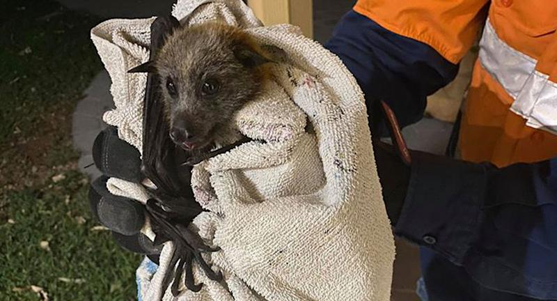 A flying fox seen wrapped in a blanket.