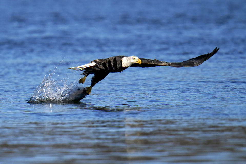 FILE - In this Nov. 20, 2020, file photo, a bald eagle grabs a fish from the Susquehanna River near the Conowingo Dam, in Havre De Grace, Md. The number of American bald eagles has quadrupled since 2009, with more than 300,000 birds soaring over the lower 48 states, government scientists said Wednesday in a new report. (AP Photo/Julio Cortez)