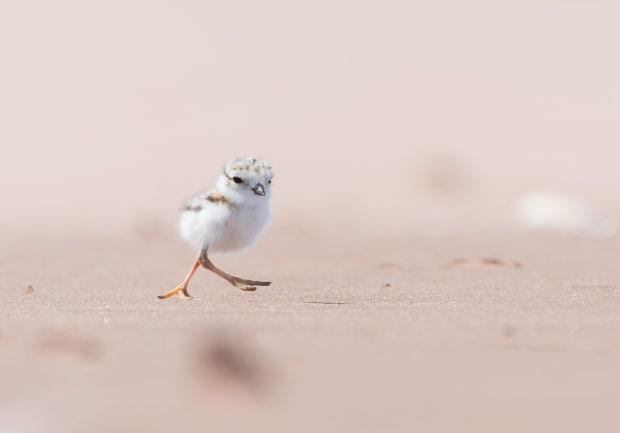 Barachois Beach is one of five beaches in Prince Edward Island home to piping plovers. (Submitted: Sean Landsman - image credit)