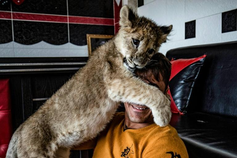 Demand in the Gulf States is driving a brisk illegal trade in cheetah and lion cubs (AFP/Delil SOULEIMAN)