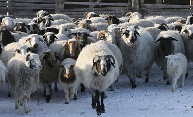 <p>Sheep and goats are seen at the nomad camp of farmer Tanzurun Darisyu in the Kara-Charyaa area south of Kyzyl town, the administrative center of the Republic of Tuva (Tyva region) in southern Siberia, Russia, on Feb. 14, 2018. (Photo: Ilya Naymushin/Reuters) </p>