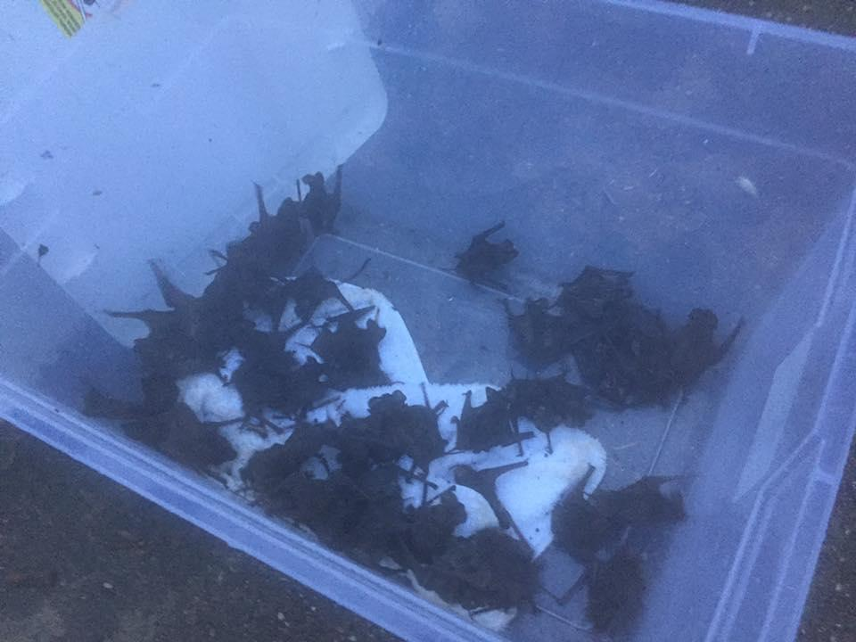 Some of the bats rescued from their colony's sleeping place under the Waugh Bridge near downtown Houston. (Photo: Courtesy of Jacob Calle)