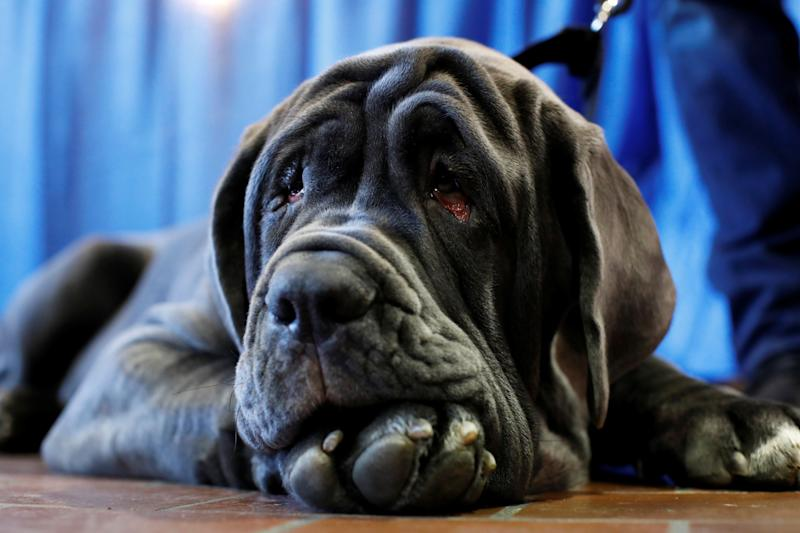 Romeo, a Neapolitan mastiff, rests during the AKC Meet the Breeds event ahead of the 143rd Westminster Kennel Club Dog Show in New York, Feb. 9, 2019. (Photo: Andrew Kelly/Reuters)