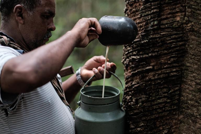 Rubber tapper Raimundo Pereira collects sap from a rubber tree in a forest in Xapuri, Acre State, in northwestern Brazil, on October 8, 2014