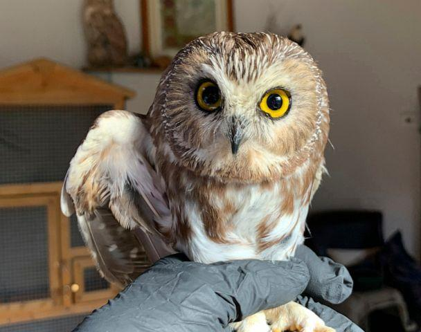 PHOTO: Ravensbeard Wildlife Center Director and founder Ellen Kalish holds a Saw-whet owl at their facility in Saugerties, N.Y., Nov. 18, 2020. (Lindsay Possumato/Ravensbeard Wildlife Center via AP)
