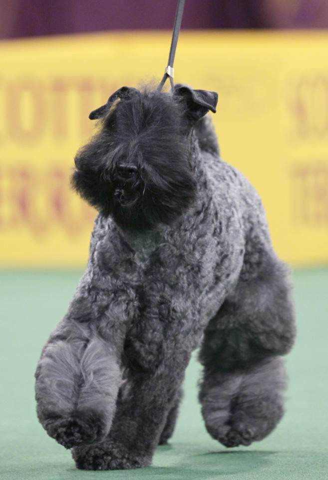 A Kerry blue terrier named Chelsey is declared the winner of the terrier group at the 136th annual Westminster Kennel Club dog show in New York, Tuesday, Feb. 14, 2012. (AP Photo/Seth Wenig)