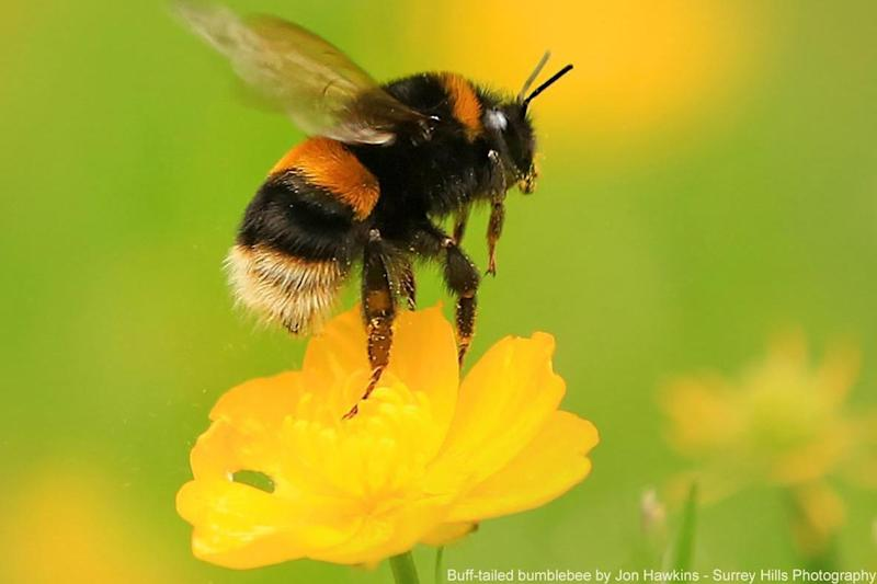 Bumblebees are superb pollinators, playing an important part in the lifecycles of many plants