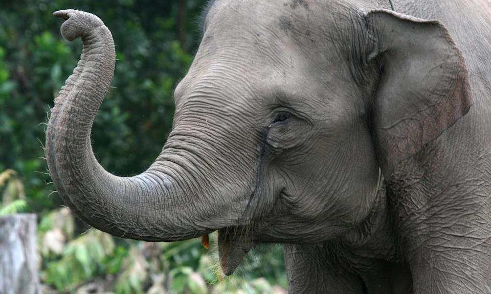 <p>This Asian elephant species has been severely affected by deforestation. (Photo: WWF) </p>