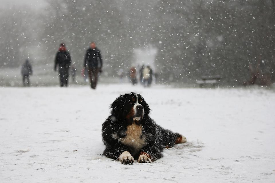 LONDON, ENGLAND - JANUARY 24: A dog sits in the in snow on Hampstead Heath on January 24, 2021 in London, United Kingdom. Parts of the country saw snow and icy conditions as arctic air caused temperatures to drop. (Photo by Hollie Adams/Getty Images)