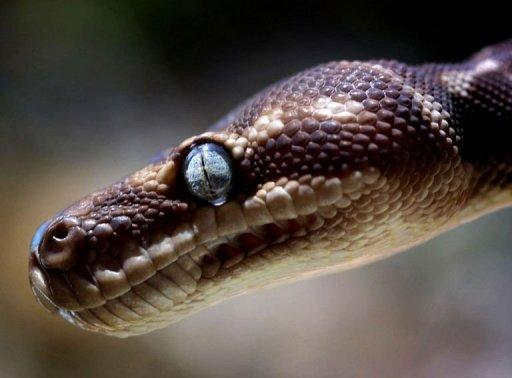 An Australian pilot was forced to make an emergency landing after a snake was discovered on the plane he was flying