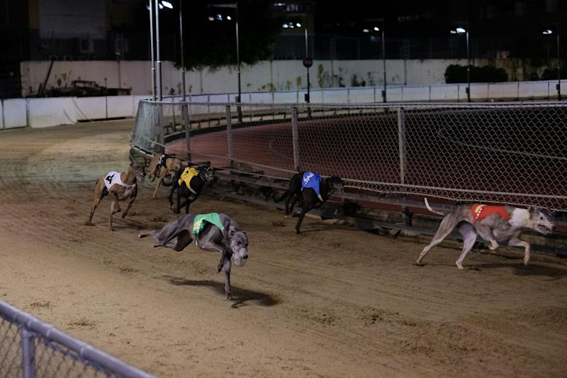 Greyhounds run on the sand ground during the last race at the Macau Canidrome Club.