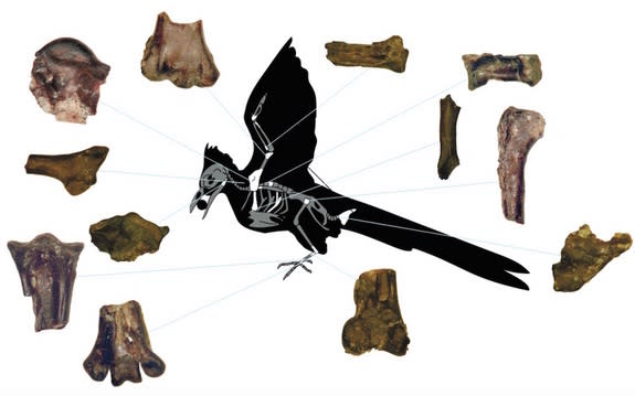 The various skeletal pieces that researchers uncovered of the ancient bird that lived just after the age of the dinosaurs.