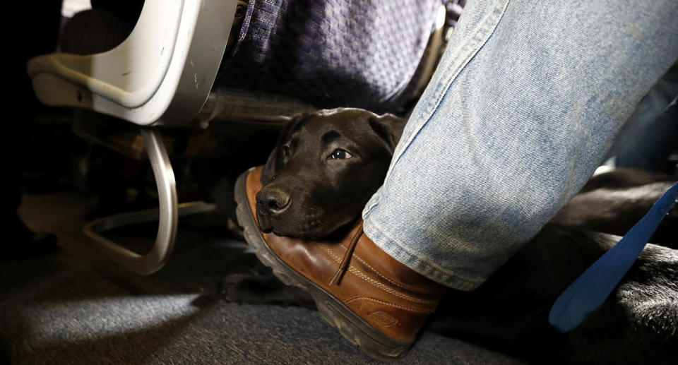 A dog rests his head on a mans foot under a plane seat. Source: AP
