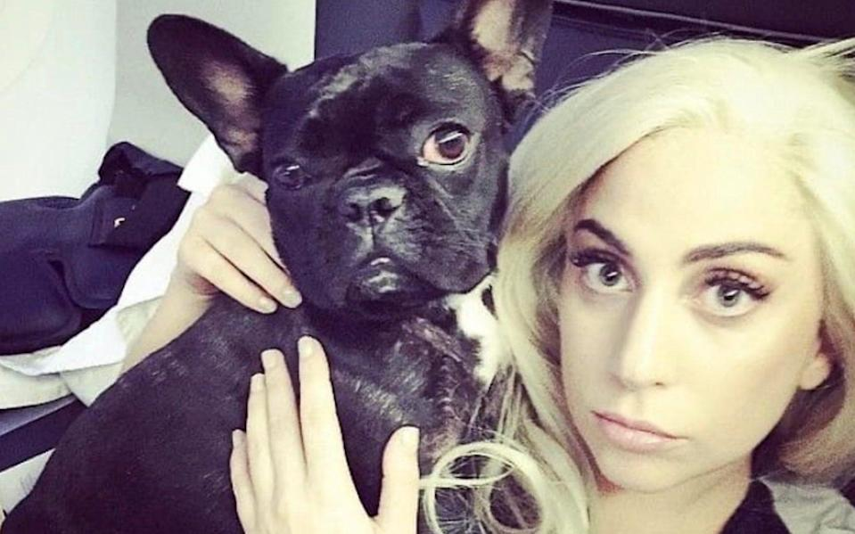 The singer has offered a $500,000 reward for the return of her French bulldogs - UNPIXS