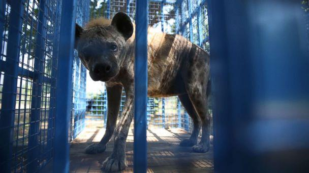 PHOTO: A rescued hyena from Syria's Aleppo zoo looks out from a cage in Bursa, Turkey, July 26, 2017. (Ali Atmaca/Anadolu Agency via Getty Images)