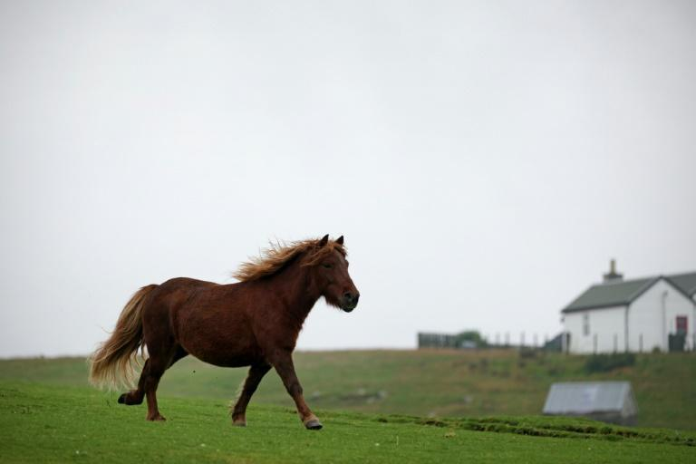 During the coronavirus pandemic, Shetland ponies saw their value soar to new highs (AFP/ADRIAN DENNIS)