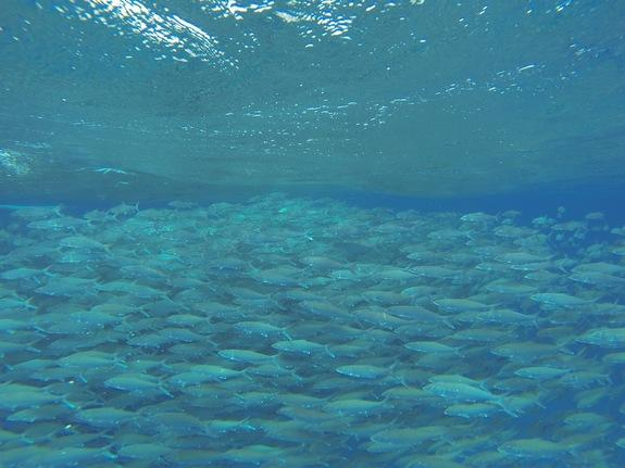 Stunning 10,000-Fish Vortex Caught on Video