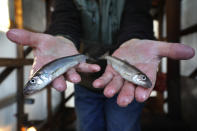 FILE -In this Friday, Feb. 2, 2018 file photo, an ice fisherman shows smelt caught at Jim Worthing's Smelt Camps on the Kennebec River in Randolph, Maine. A lack of ice in cold weather states this year has made it difficult for scientists to study the rainbow smelt population. The ecologically important fish was listed as a species of special concern more than 15 years ago due to declines in its population. (AP Photo/Robert F. Bukaty, files)