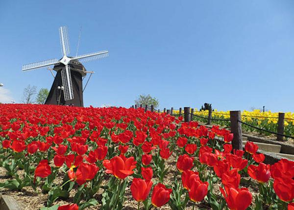 ▲These colorful tulips let you really know it's spring time (Best time to see tulips in Osaka: April)