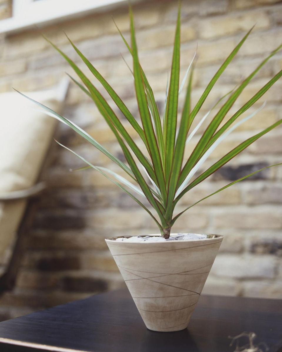 """<p>Spiky leaves that grow upwards and have a red outline makes the <a href=""""http://www.guide-to-houseplants.com/dragon-tree.html"""" rel=""""nofollow noopener"""" target=""""_blank"""" data-ylk=""""slk:name of this plant"""" class=""""link rapid-noclick-resp"""">name of this plant</a> absolutely perfect. But direct sunlight could damage them – so give this guy some sun and some shade.</p>"""