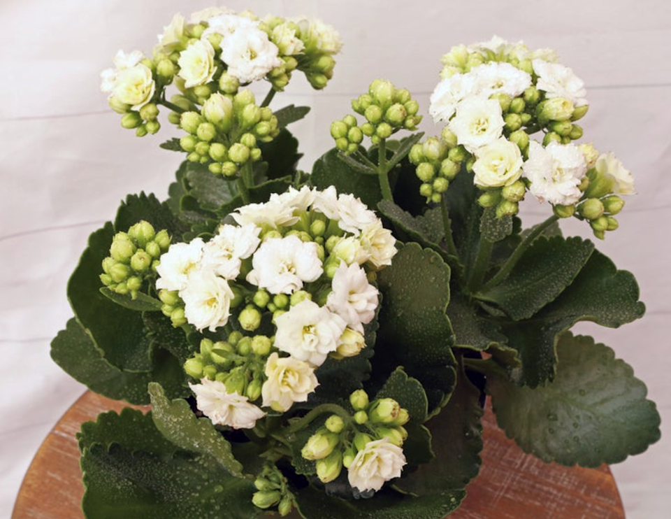 """<strong><h2>Kalanchoe</h2></strong><br>If you live in an unpredictable climate, consider the Kalanchoe. """"A beauty on the outside and tougher on the inside, this variety thrives in dry environments and easily adapts to temperature changes,"""" Letier explains.<br><br><em>Shop</em> <strong><em><a href=""""https://www.etsy.com/shop/FloridaPlantsGardens"""" rel=""""nofollow noopener"""" target=""""_blank"""" data-ylk=""""slk:FloridaPlantsGardens"""" class=""""link rapid-noclick-resp"""">FloridaPlantsGardens</a></em></strong><br><br><strong>FloridaPlantsGardens</strong> LIVE Calandiva Kalanchoe, $, available at <a href=""""https://go.skimresources.com/?id=30283X879131&url=https%3A%2F%2Fwww.etsy.com%2Flisting%2F773113244%2Flive-calandiva-kalanchoe-family-blooming"""" rel=""""nofollow noopener"""" target=""""_blank"""" data-ylk=""""slk:Etsy"""" class=""""link rapid-noclick-resp"""">Etsy</a>"""